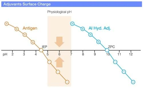 Adjuvants surface charge